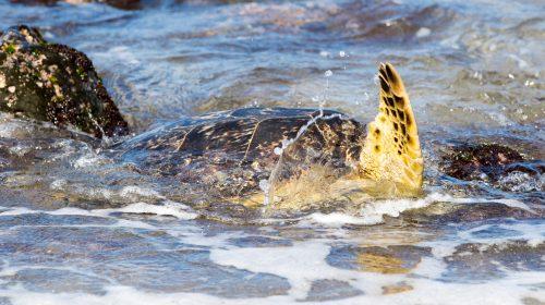 ハワイ旅行記2017その10 ウミガメに出会えるラニアケアビーチ Hawaii Trip 2017 Sea Turtle at Laniakea Beach