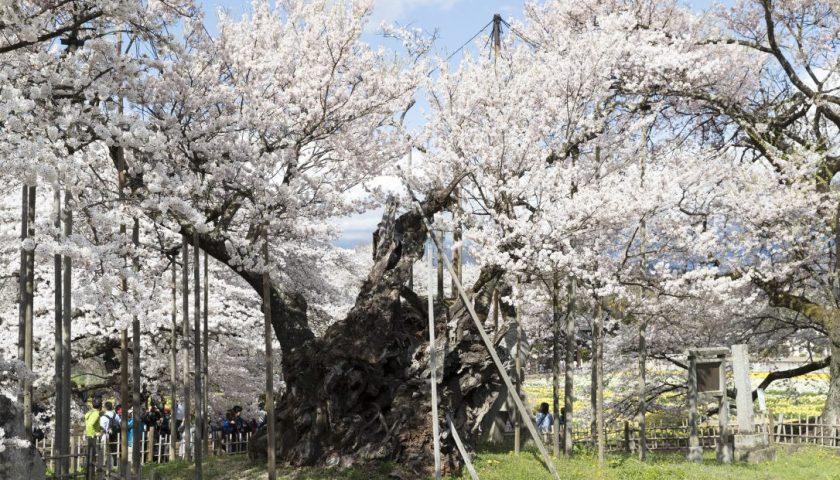 世界最古の桜 樹齢2000年の山高神代桜 Oldest Cherry Blossom in the World Yamataka Jindai Sakura