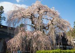 慈雲寺のしだれ桜(糸桜)は山梨県内おすすめの桜の名所 Cherry Blossom at Jiunji Temple