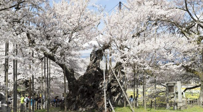 世界最古の桜 樹齢2000年の山高神代桜 Oldest Cherry Blossom in the World Yamataka Jindai Sakura
