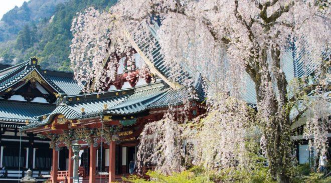 身延山久遠寺の桜は訪れる価値あり! Cherry Blossom at Minobusan Kuonji