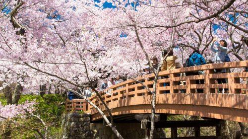 日本三大桜名所 天下第一の桜として有名な高遠城址公園は絶景でした! Cherry Blossoms at Takato Castle