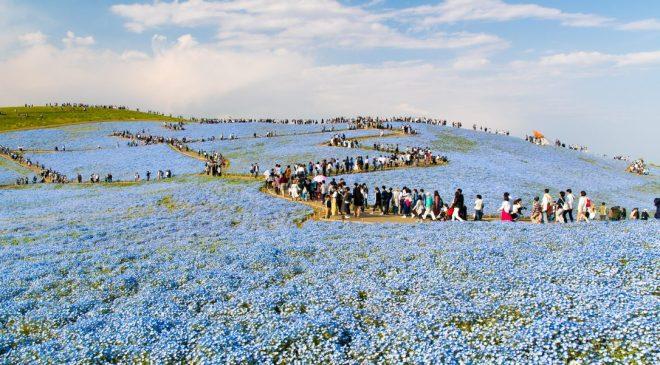4月下旬から5月上旬に訪れたい日本の絶景スポット ひたち海浜公園のネモフィラ畑 Nemophila at Hitachi Seaside Park