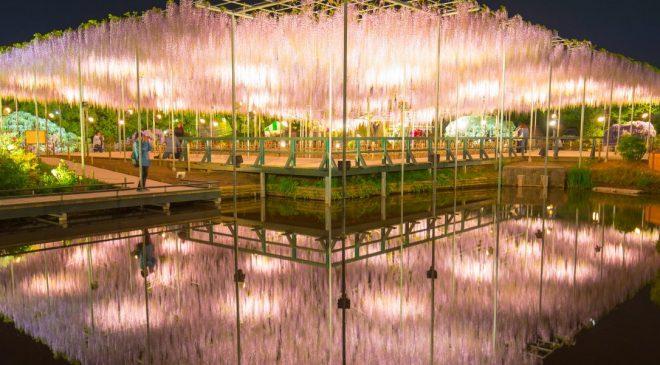 4月下旬に必ず訪れたい関東のおすすめ観光スポット あしかがフラワーパークの藤棚は必見! Beautiful Wisteria at Ashikaga Flower Park