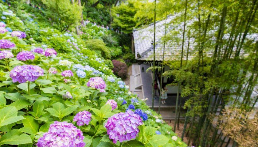 鎌倉長谷寺のあじさいは6月中旬に訪れたい国内旅行のおすすめスポット! Hydrangeas at Kamakura Hasedera