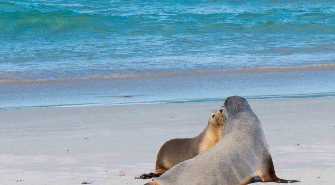 アデレード旅行ブログ2017その9 カンガルーアイランドツアー シールベイ Adelaide Trip 2017 Kangaroo Island Seal Bay