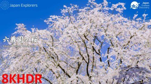 動画で国内旅行 東京 六義園の桜, Rikugien Cherry Blossoms, Tokyo