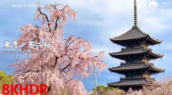 動画で国内旅行 京都 東寺「不二桜」, Toji Fujizakura, Kyoto